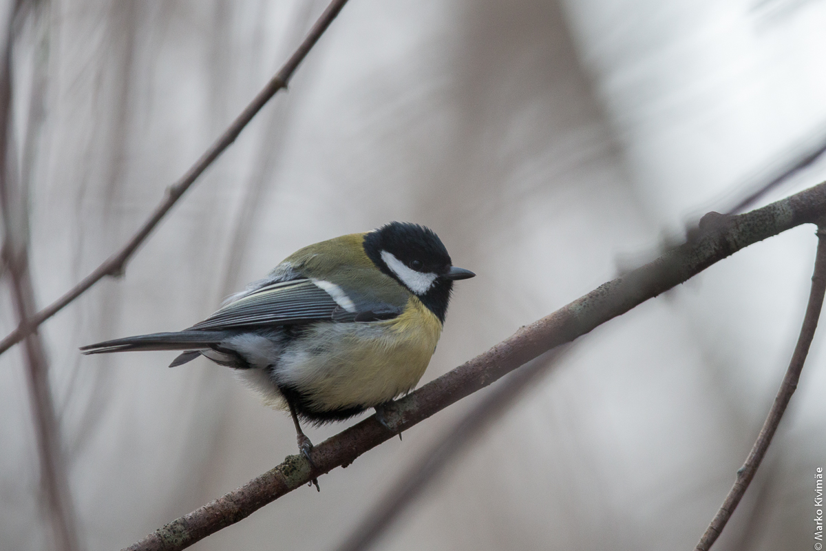 Portree. Rasvatihane, Parus major
